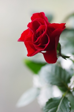 close-up red rose Stock Photo - 13352016