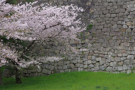 cherry blossoms and stonewalls