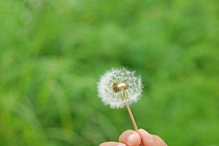 fluff of a dandelion Stock Photo - 13683208