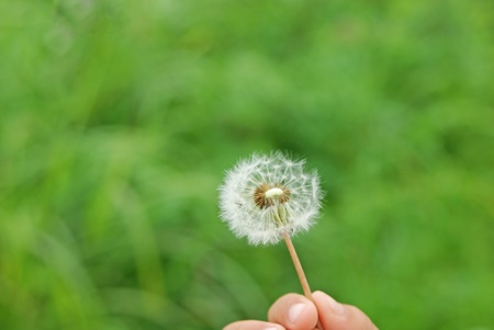 fluffy tuft: fluff of a dandelion Stock Photo