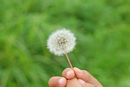 fluff of a dandelion Stock Photo - 13683209