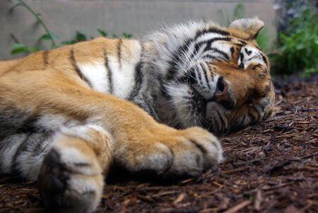 眠っている虎