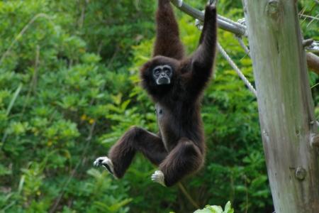 gibbon: playing lar gibbon Stock Photo