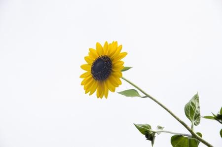 sunflower against white background Stock Photo - 14838108