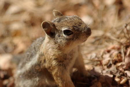bryce canyon: squirrel in Bryce Canyon Stock Photo