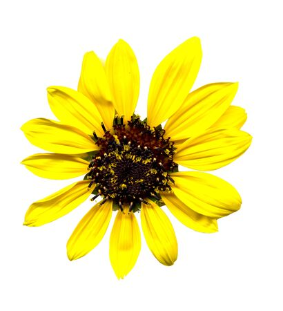 scanned image of a small sunflower Stock Photo - 15404471