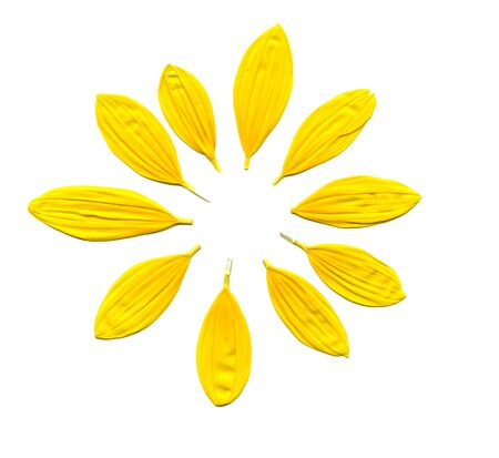 scanned image of some petals of a small sunflower Stock Photo - 15404465
