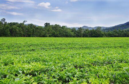 tea plantation near the Daintree Rainforest in Australia Stock Photo