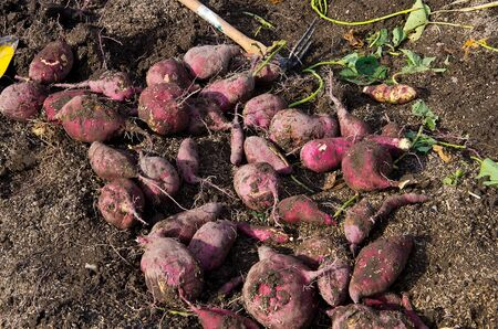 harvesting sweet potatoes Stock Photo