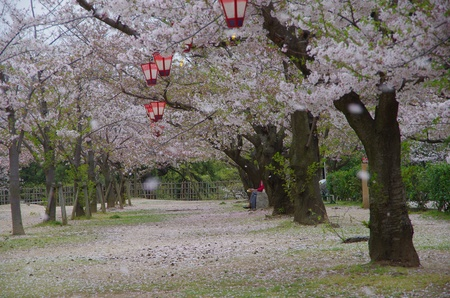 cherry blossoms in a park Stock Photo