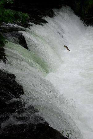 Jumping fish in the cascade