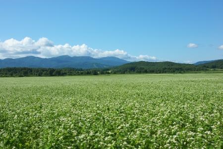 fields of buckwheat Stock Photo - 16930536