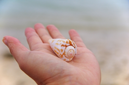 cone shell: seashell on a palm