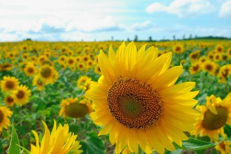 sunflowers in Hokuryu, Hokkaido, Japan Stock Photo - 17831481