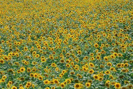 sunflowers in Hokuryu, Hokkaido, Japan Stock Photo - 17831522