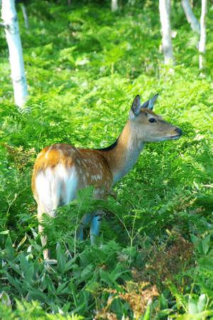 wild deers called Ezo Shika in the woods in Shiretoko, Hokkaido Stock Photo