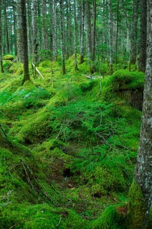 moss and Japanese red pines