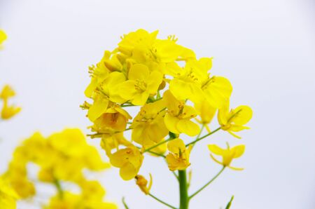 flowers of canolas Stock Photo - 18685593