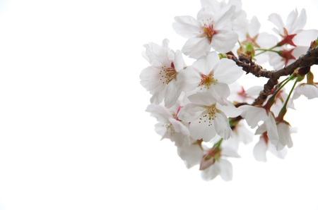 cherry blossoms Stock Photo - 18685300