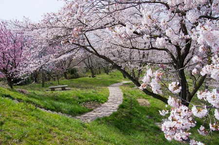 cherry blossoms and a footpath