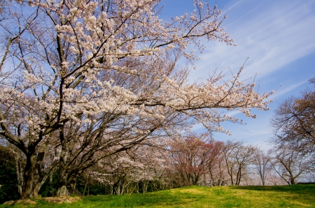 cherry blossoms and cirrus clouds Stock Photo - 18969711