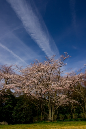 cherry blossoms against blue sky Stock Photo - 18969584