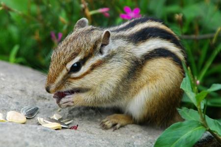 ardilla: chipmunk comer una uva