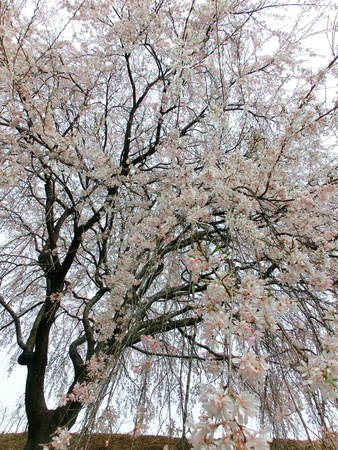 cherrytree: weeping cherry or drooping cherry-tree Stock Photo