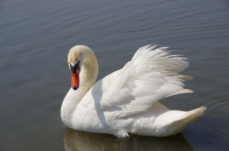 swan floating on the water photo