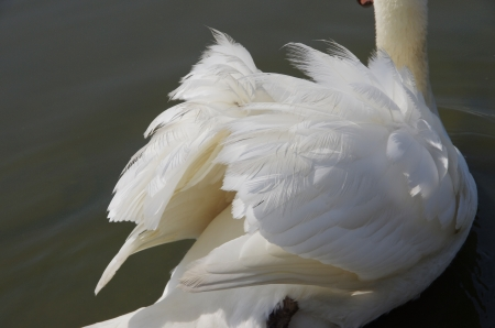 closeup of the feathers of a swan photo