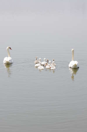 swan family floating on the water photo
