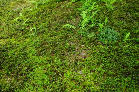 mosses: mosses in a Japanese garden