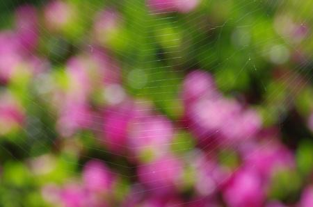 azaleas: spider web against azaleas Stock Photo