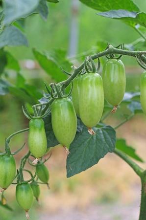 unripened: unripened tomatoes Stock Photo