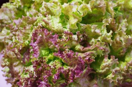 red-tip leaf lettuce