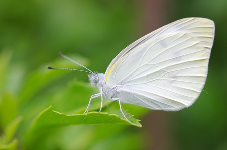 small cabbage white butterfly  Pieris rapae  Stock Photo