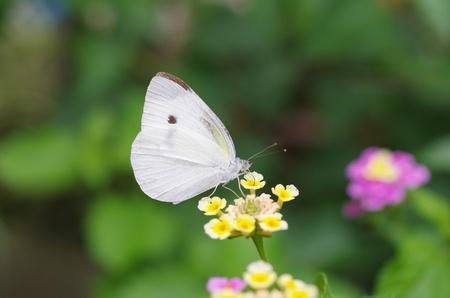 pieris: small cabbage white butterfly  Pieris rapae  Stock Photo