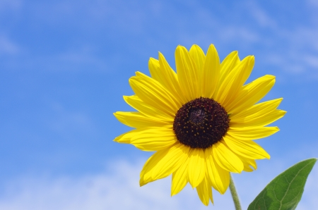 sunflower against blue sky Stock Photo - 21019072