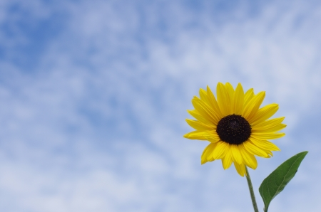 sunflower  Stock Photo - 21019083