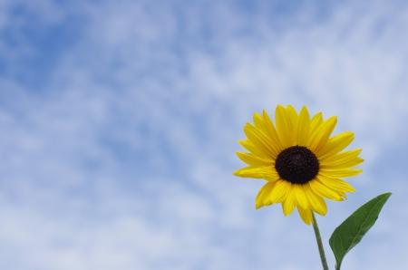 sunflower  Stock Photo - 21019083