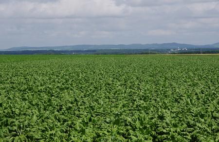 beet fields Stock Photo