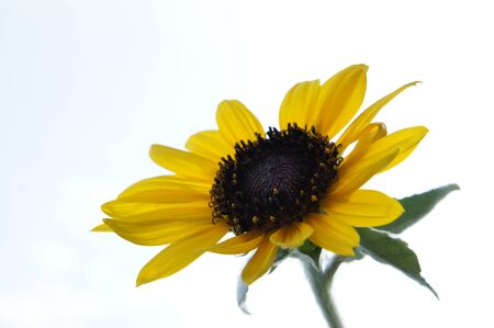 sunflower Stock Photo - 23008214