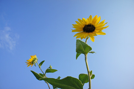 sunflower                    Stock Photo - 23008218
