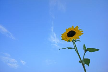 sunflower Stock Photo - 23008222