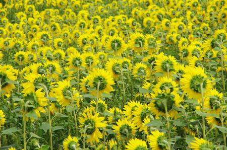 the backs of sunflowers Stock Photo - 23008230