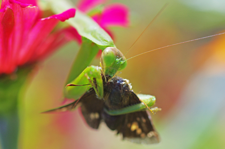 foreleg: praying mantis eating a moth Stock Photo