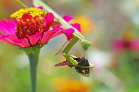 foreleg: praying mantis eating a moth Stock Photo