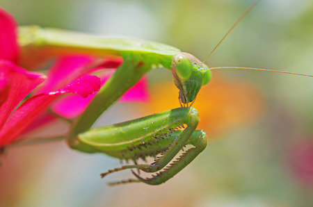 praying mantis cleaning its foreleg photo