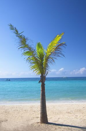 young tree: young palm tree on the tropical beach Stock Photo