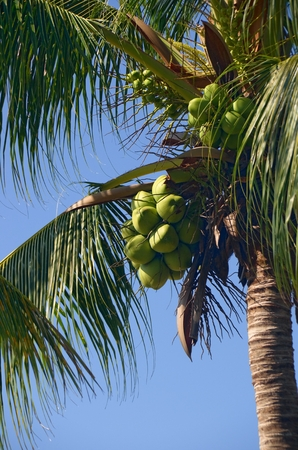 cucunuts on the palm trees